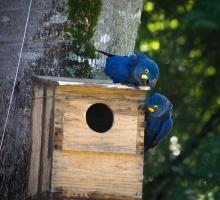 Observação de aves: araras-azuis são nova atração na Estância Mimosa Ecoturismo, em Bonito-MS